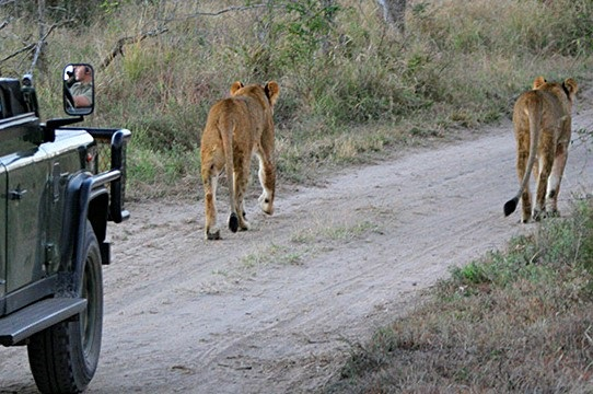 Addo Elephant Park Game Drive - Lions in the Par