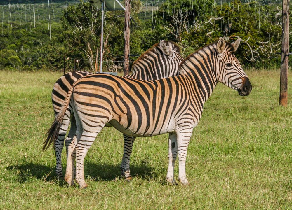Zebra in Addo Elephant Park