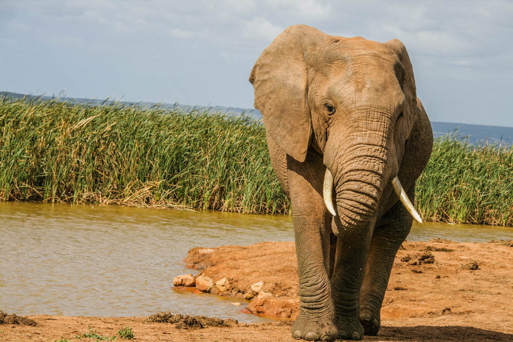 Addo Elephant in Park