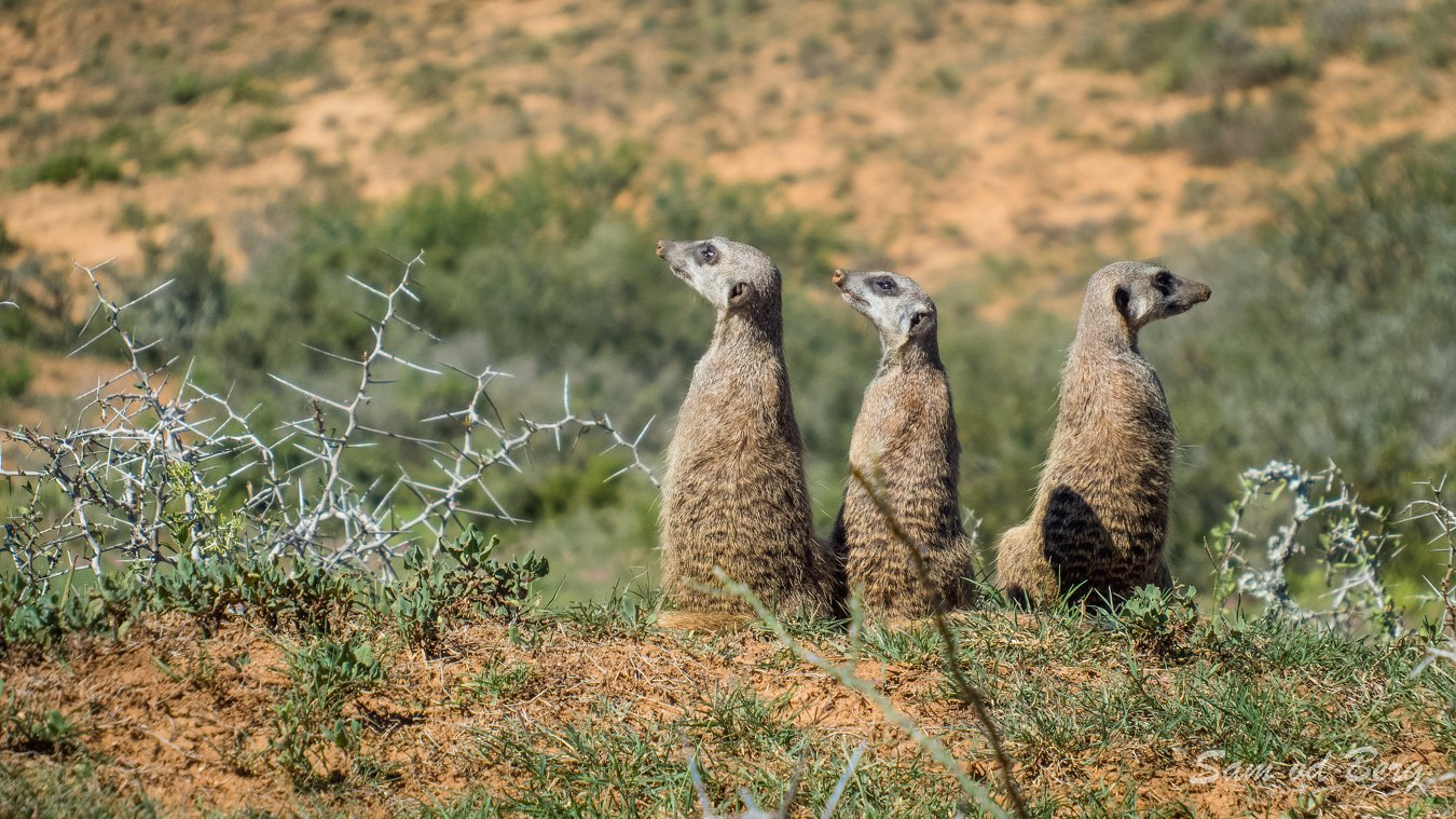 Meerkats seen during Addo Game Drives